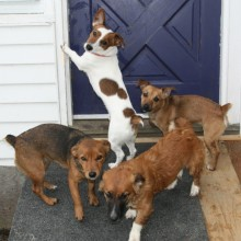 march 19, 2011 - Jack Russell Terriers